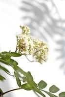 Blommande Rönn, Sorbus Aucuparia, Close_Up Of Rowan Flowers With Leaf