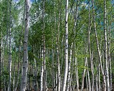 White Birch Forest