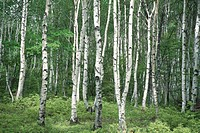 White Birch Trunks
