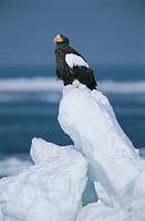 Steller´S Sea Eagle