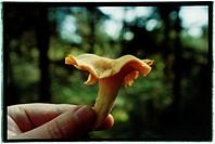 Hand håller i en kantarell, Close_Up Of Hand Holding A Chanterelle Mushroom