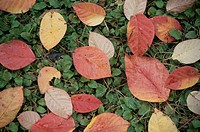 Fallen Leaves (thumbnail)