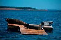 Three Seals On Platform