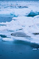 Seal On Ice Floe (thumbnail)