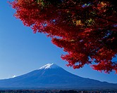 Mount Fuji And Maple