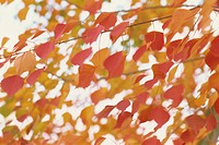 The Autumn Leaves