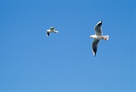 Gulls