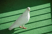 Pigeon (thumbnail)