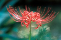 Flower Of Lycoris
