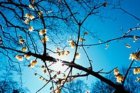 Sun Behind Flowering Branches