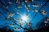 Sun Behind Blossoming Branches