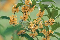 Fragrant Olive