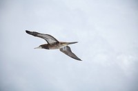 Single booby bird flying