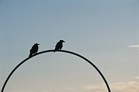The Silhouette Of Two Wild Birds In Twilight