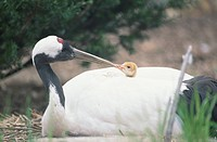 Parent And Child Of A Japanese Crane