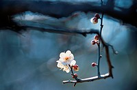 Branch Of Plum Flower