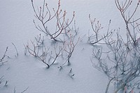 Twigs In Snow (thumbnail)