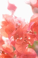Bougainvillea
