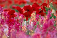 Poppies And Pink Flowers