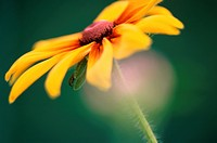 Flower Of Rudbeckia