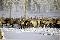 Group of elk on snow cover landscape Renflock i norrbotten