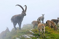 Alpine Ibex (Capra ibex), herd in fog. Niederhorn, Switzerland.