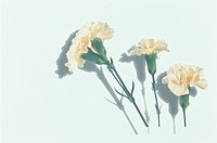 Three Cream_Colored Carnations