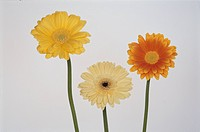 Gerbera (thumbnail)