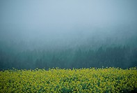 Rape Blossoms And Fog