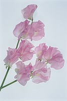 Two Pink Sweet Peas (thumbnail)