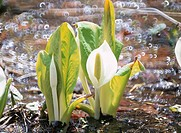 The Giant Skunk Cabbage At The Waterside