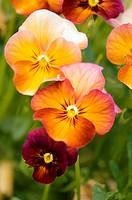 Terracota Pansy Flower Group. Viola x wittrockiana.