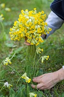 Flicka Plockar Gullvivor, Girl Picking Flower In Field