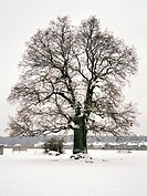 Träd, Ek i vinterlandskap Oak Tree In Field In Winter Landscape