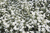 Blommande silverarv, vita blommor. Elevated View Of White Flower Bed, Cerastium Tomentosum