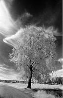 Infraröd Svartvit Bild Av Björk Mot Himmel, Birch Tree Against Sky B/W