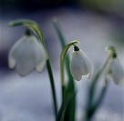 Snödroppe, närbild. Close_Up Of Snowdrop Flower
