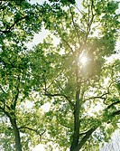 Sol strilar Genom Lövverk, Tree Against Sky