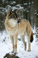 European wolf (Canis lupus) is lokking alert
