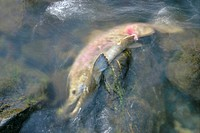 Dead sockeye salmon or red salmon Oncorhynchus nerka Russian River Kenai peninsula Alaska USA