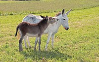 donkey and foal on meadow