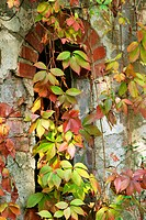Window of an old building with autumnal colored virginia creeper