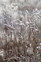 Grass with hoarfrost