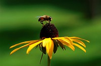Bee sitting on coneflower