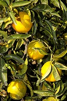 Oranges still on the tree, Altea, Costa Blanca, Spain, Speciality, food, nationaltypically