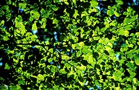Leaves beech