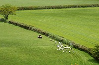 Farmer driving sheep Tavistock Devon England Great Britain