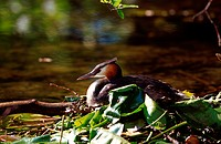 Grat crested grebe