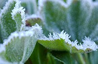 Lady's mantle alchemilla in meadow with glaced frost