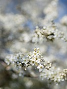 Sloe blossom Prunus spinosa. Sloe, or blackthorn, flowers bloom in early spring, before the leaves appear on the branches.